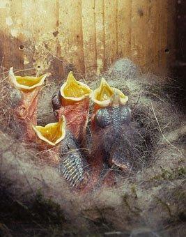 Junge Kohlmeisen (Parus major) im Nest