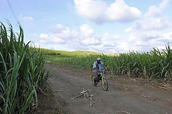 Zuckerrohr-Plantage im Süden von Mauritius