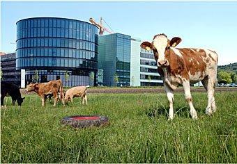 Kühe im Industriegebiet  Helsana-Gebäude in Stettbach