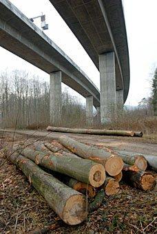 Baumstämme unter der Autobahnbrücke im auenwald der Aare bei Schinznach
