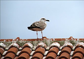 Mittelmeermöve Larus michahellis, Jungvogel