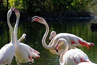 Flamingos Zoo Dällhölzli Bern