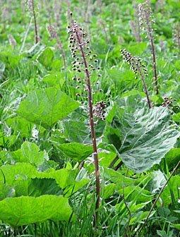 Gemeine Pestwurz, Petasites hybridus