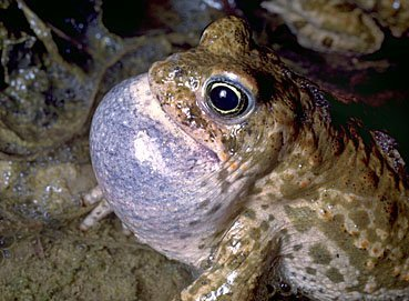 Kreuzkröte,Bufo calamita