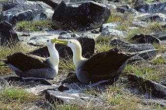 Albatros-Paar Galapagos