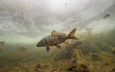 Fische unter dem Eis