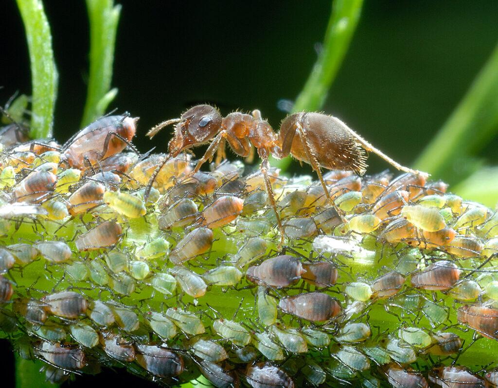 Blattläuse werden von Ameisen bewacht