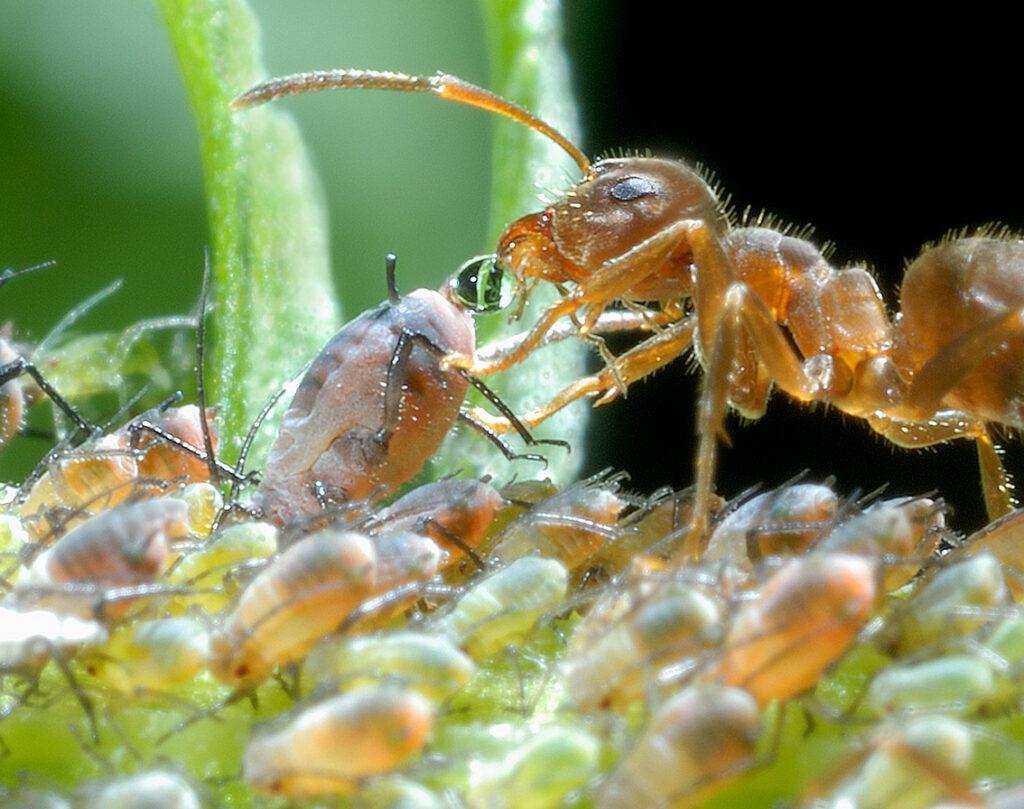 Blattlaus übergibt einer Ameise einen Honigtautropfen