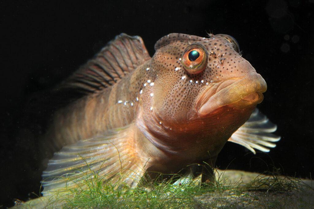 Salaria fluviatilis, einzige Schleimfisch-Art die das Süsswasser besiedelt.