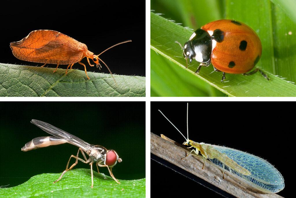 Fressfeinde der Läuse: Blattlauslöwe, Marienkäfer, Schwebfliege und Florfliege