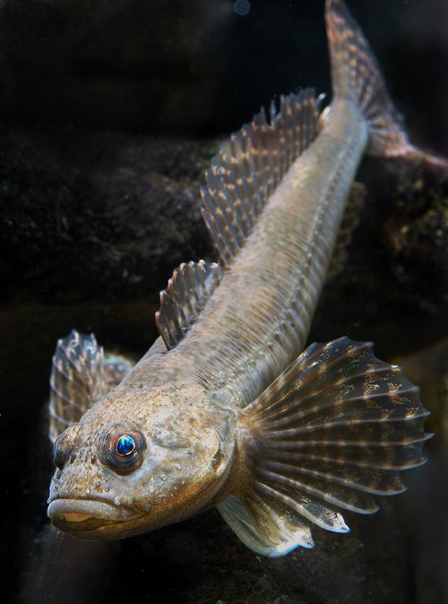 Groppe, häufiger einheimischer Fisch unserer Fliessgewässern, aber selten zu sehen.