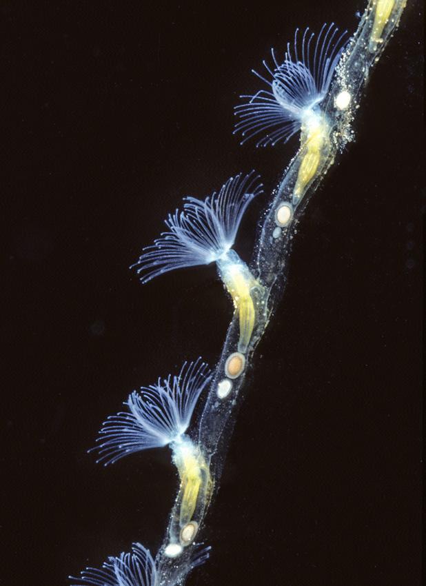 Moostierchen (Bryozoa), Einzeltier 2-3 mm gross
