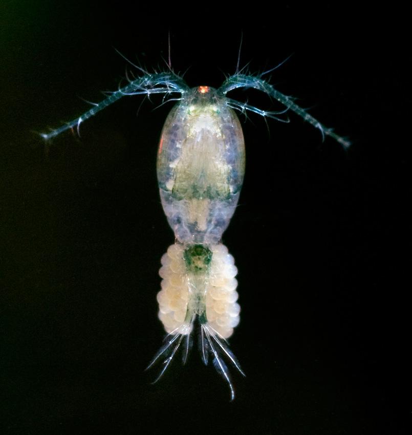 Calanoida, ein 1-5 mm grosser Ruderfusskrebs