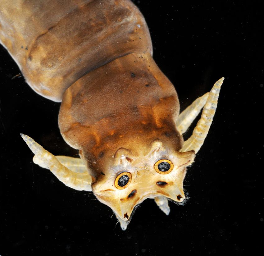 Tipula, Hinterteil einer Schnaken-Larve